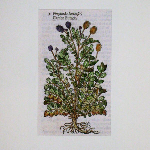 garden-burnet