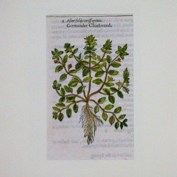 germander-chickweed